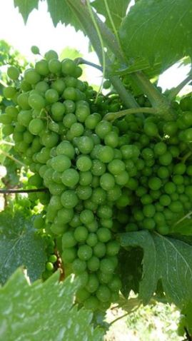 Grapes in July