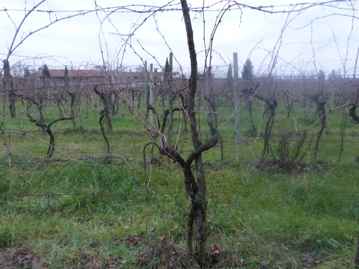Vine before pruning