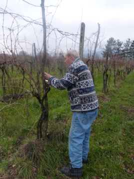 Cutting branch of the vine