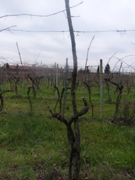 Final result: Pruned vine