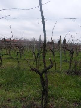 Final result: Pruned vine