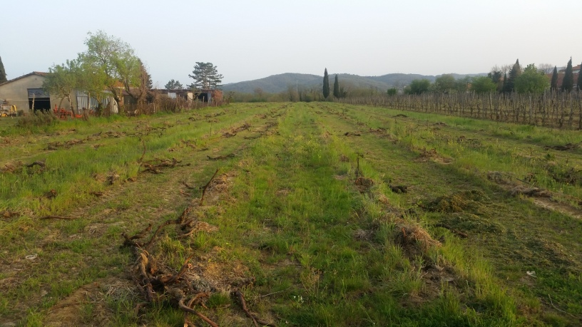 The Old Vine Plants cutted - April 2016 - Cappannelle - Castiglion Fibocchi