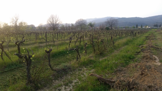 The old Vineyard in Cappannelle March 2016