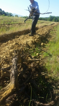 Step 5 Collection of old vines - June 2016 _ Renato Bianchi