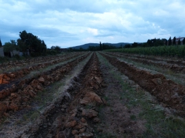 Now every row of the old vineyard is plowed