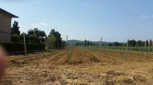 perfect vineyard is growing