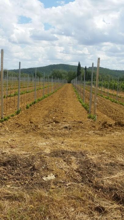 New vineyard Castiglion Fibocchi Cappannelle House near Fattoria la Vialla
