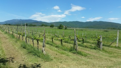 Vineyard near Rondine and Cappannelle