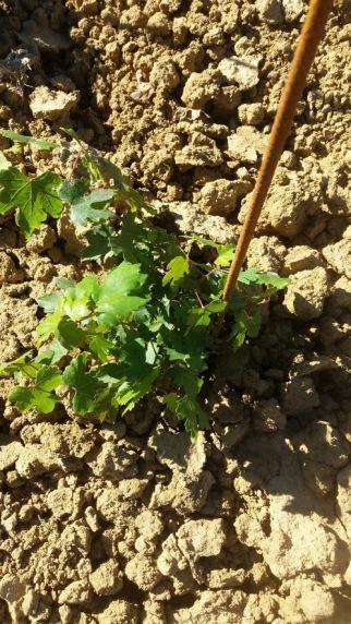 little vine in good health