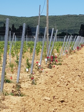 Beautiful roses in the Vineyard in Cappannelle - Castiglion Fibocchi