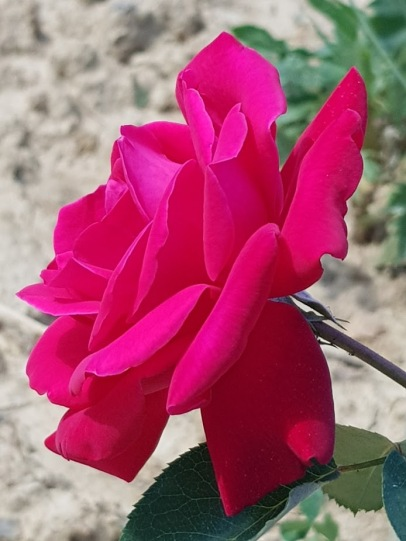 Beautiful Rose in the Vineyard in Cappannelle