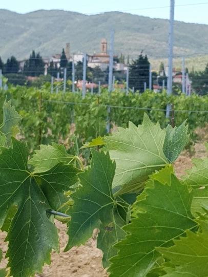 Vine Leaves and Castiglion Fibocchi