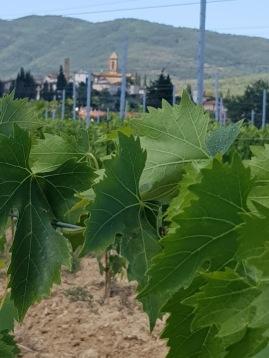 Vineyard and Castiglion Fibocchi 2018