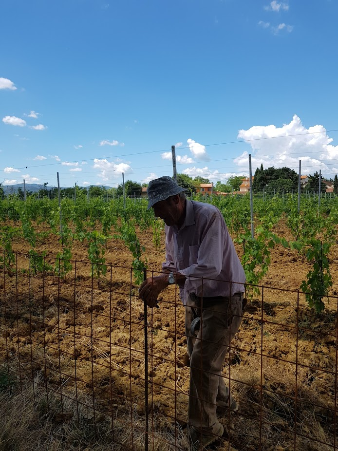 Renato Bianchi is working in the new vineyard- July 2018