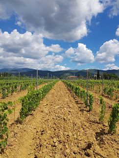 Vineyard and the tuscan sky